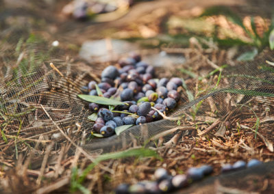 Hand-picked olives beneath an olive tree